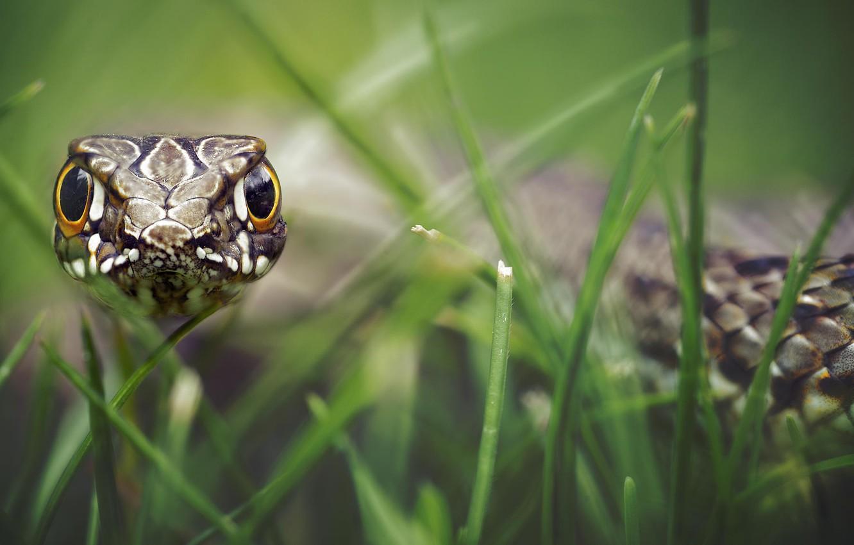 Photo wallpaper grass, look, scales, bokeh, hypnosis, reptile