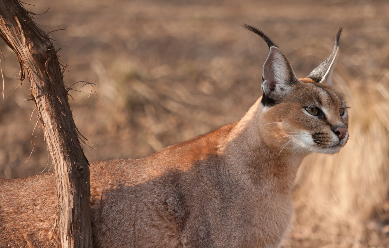 Photo wallpaper cat, look, face, branch, ears, looks, wild, brush, Caracal