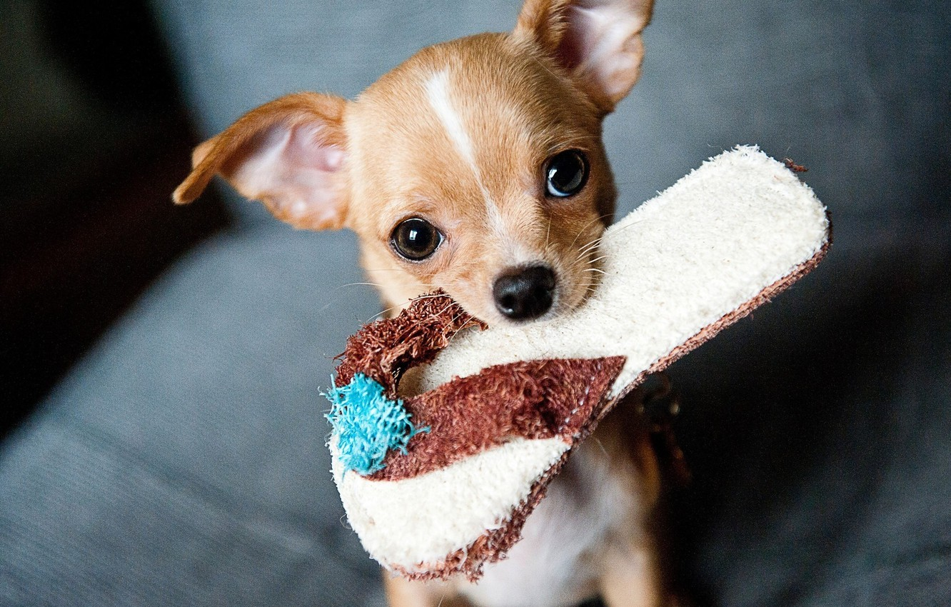Photo wallpaper look, dog, Chihuahua, Slippers