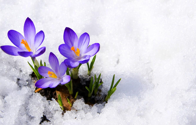 Photo wallpaper purple, macro, snow, flowers, spring, crocuses, buds, flowers, primrose, snow, macro, spring, violet, primrose, сrocus