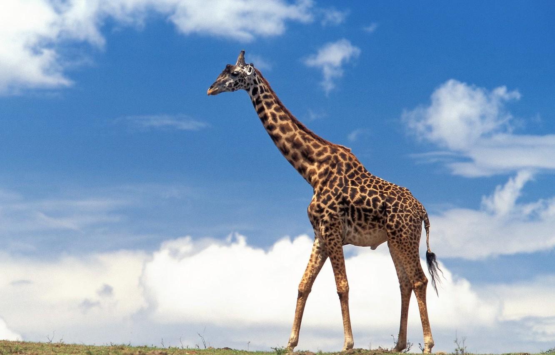 Photo wallpaper the sky, clouds, giraffe