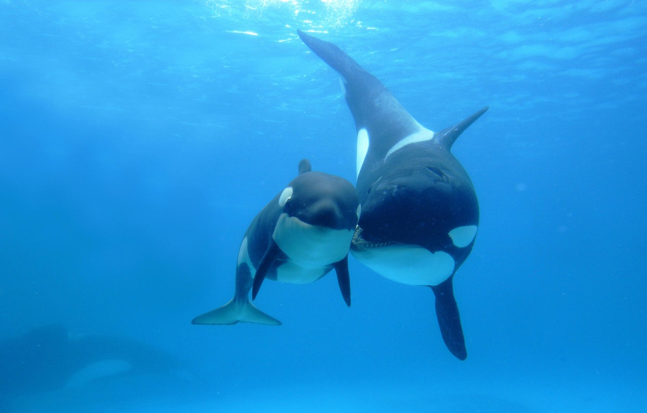 Photo wallpaper the ocean, spot, two, mom, child, Orcas