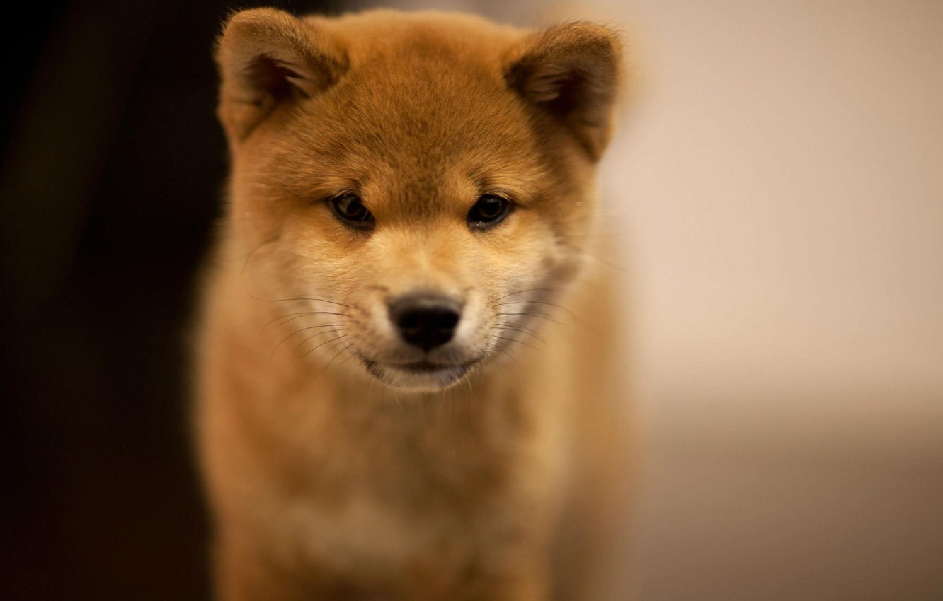 Wallpaper Blur Puppy Akita Inu Images For Desktop Section Sobaki Download