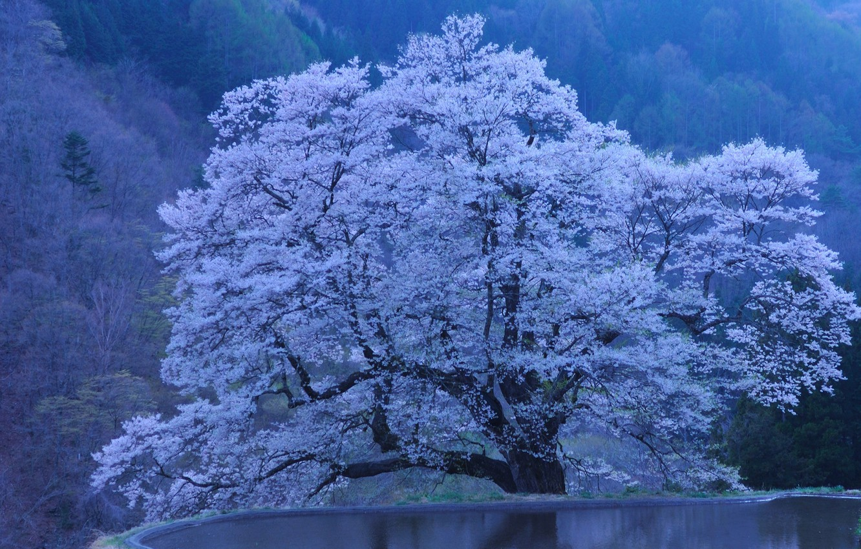 Photo wallpaper nature, Japan, Sakura, pond