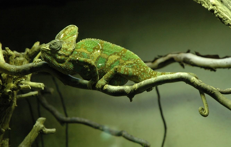 Photo wallpaper chameleon, tree, branch