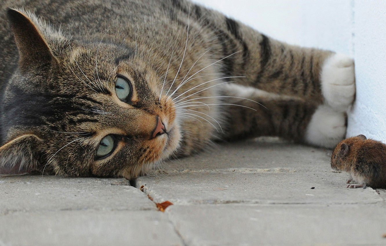 Photo wallpaper cat, macro, the game, mouse