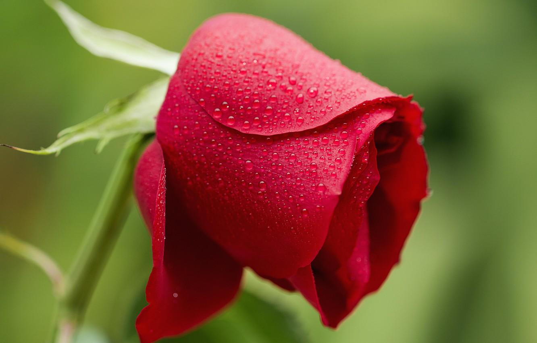 Photo wallpaper flower, water, drops, Rosa, rose, petals, Bud