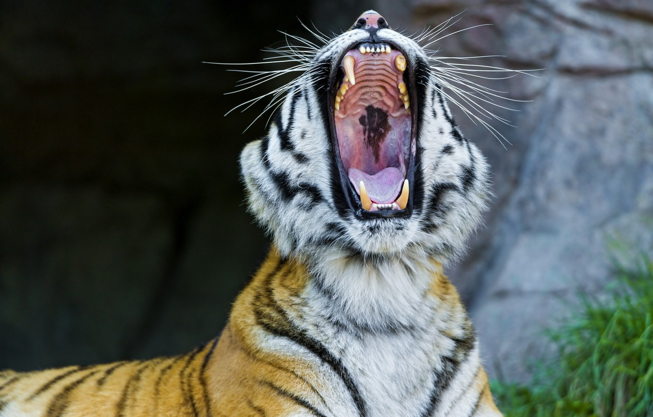 Photo wallpaper face, mouth, fangs, wild cat, yawns, the Amur tiger