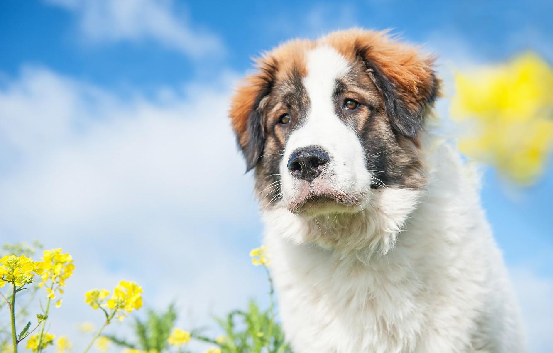 Photo wallpaper face, flowers, dog, dog, bokeh, rape