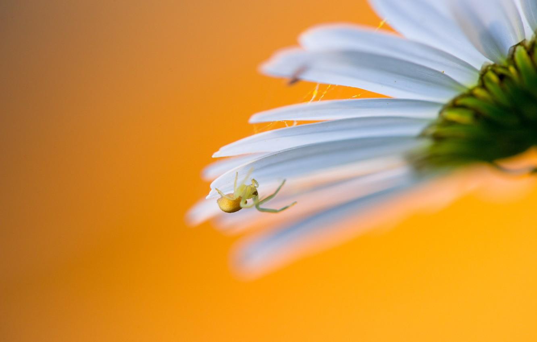 Photo wallpaper spider, flower, petals, daisy, web