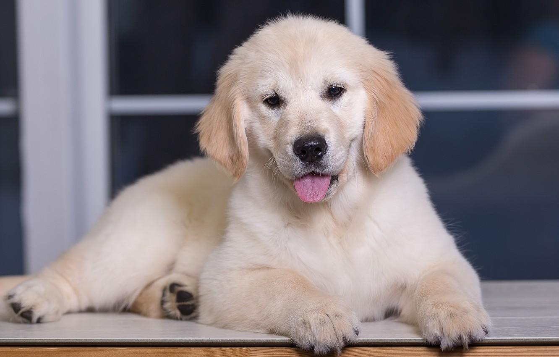 Photo wallpaper puppy, Retriever, Golden