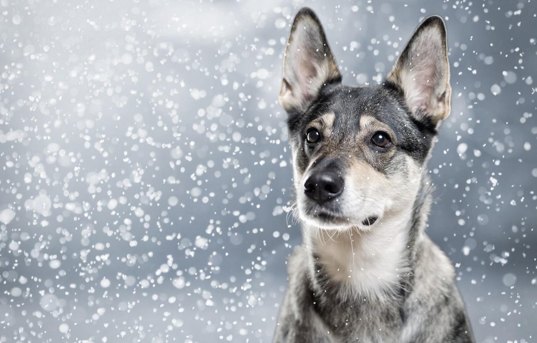 Photo wallpaper face, snow, portrait, dog, ears