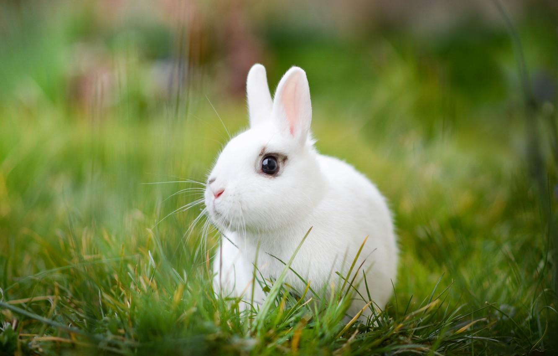 Wallpaper White Grass Rabbit Bokeh White Rabbit Images