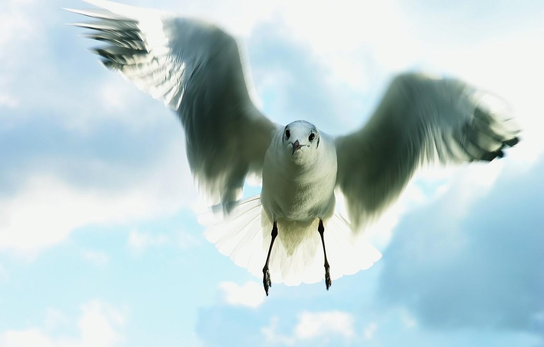Photo wallpaper the sky, flight, Seagull