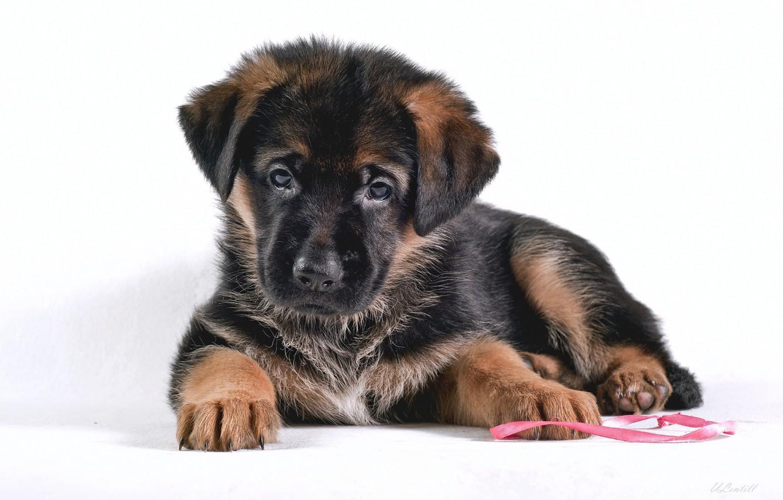 Photo wallpaper puppy, shepherd, German