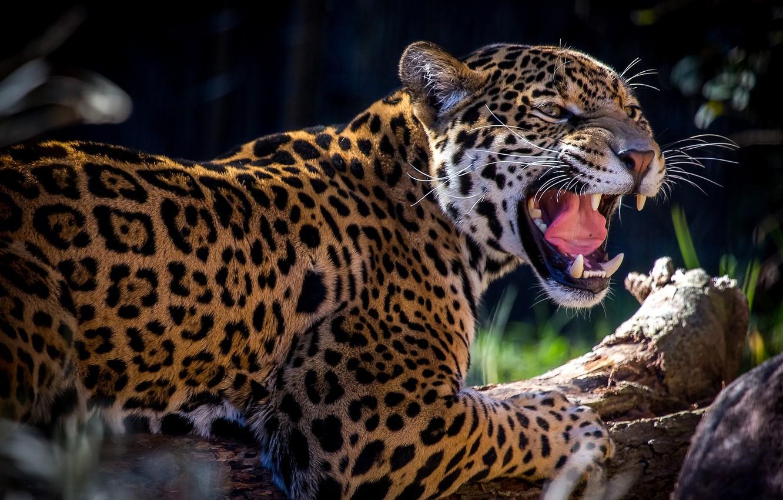 Wallpaper predator, spot, grin, Jaguar, roar images for ...