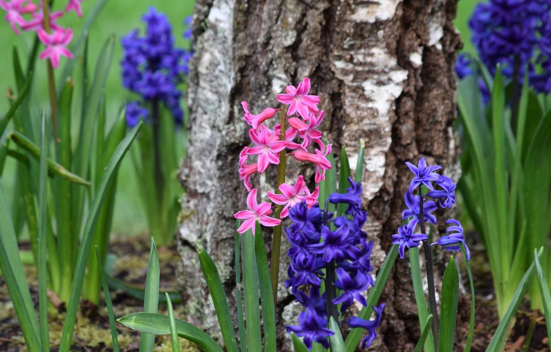 Photo wallpaper tree, birch, hyacinths