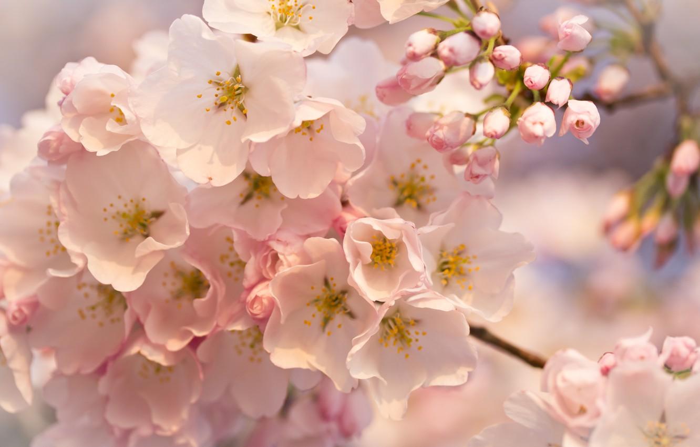 Photo wallpaper macro, flowers, Tree, pink, buds, flowering, twigs