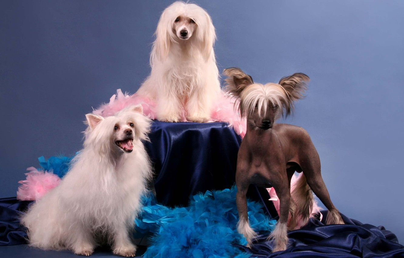 Photo wallpaper dogs, background, Chinese crested dog