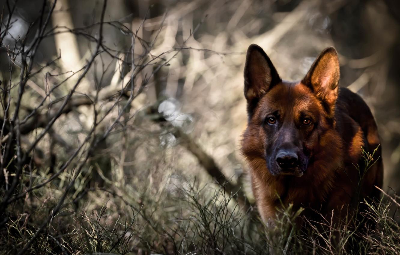 Photo wallpaper forest, look, dog, German shepherd