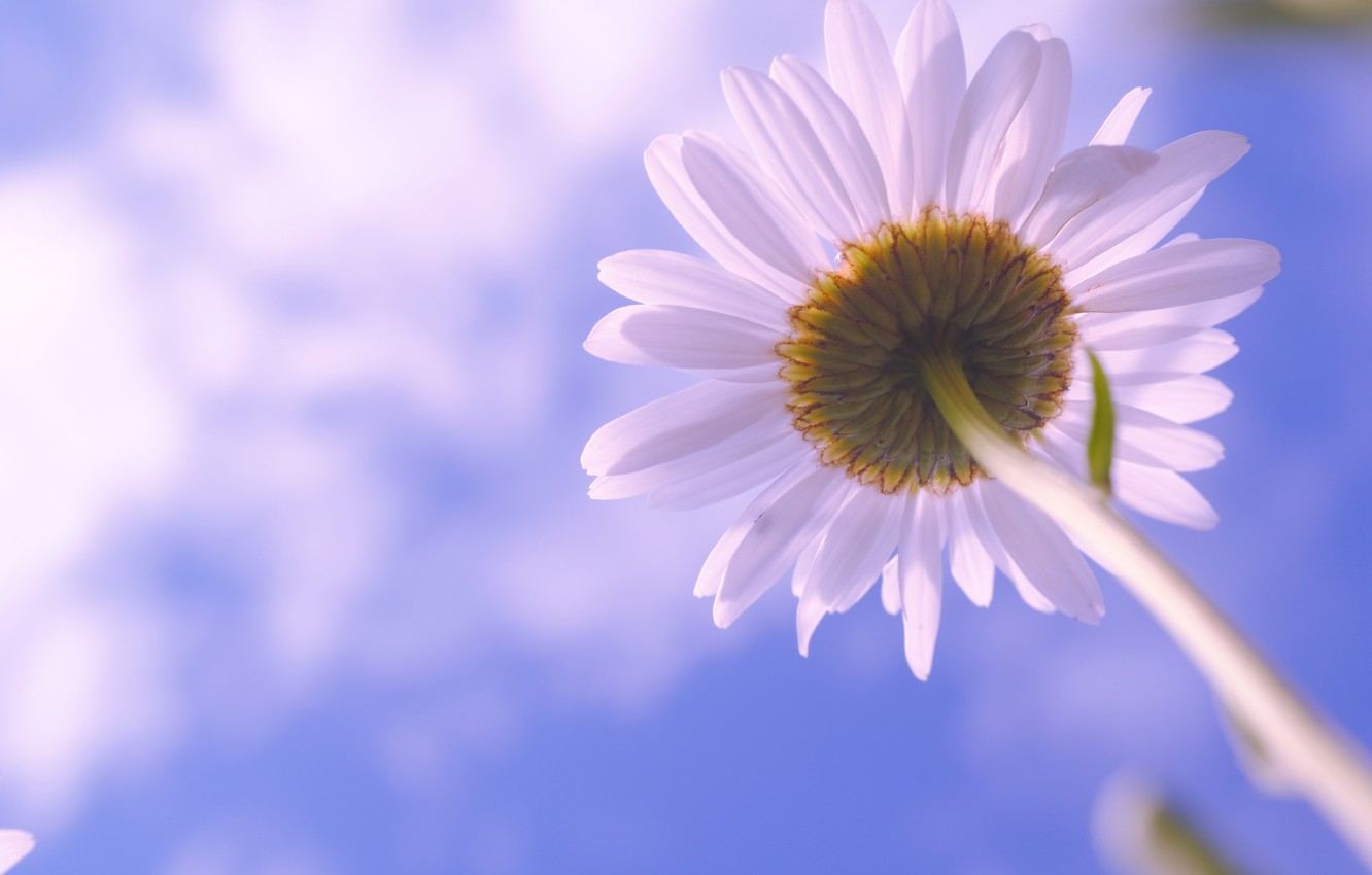 Photo wallpaper flower, the sky, clouds, flowers, nature, Daisy