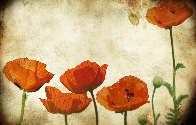 Photo wallpaper flowers, paper, Mac, Maki, texture, Grunge