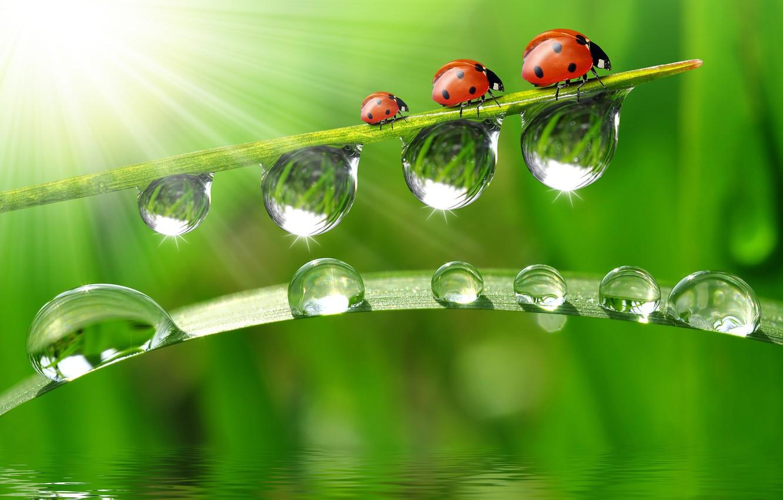 Photo wallpaper water, drops, macro, reflection, ladybugs, a blade of grass