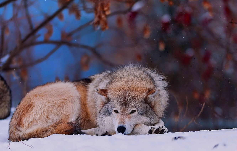 Photo wallpaper winter, forest, snow, animal, wolf