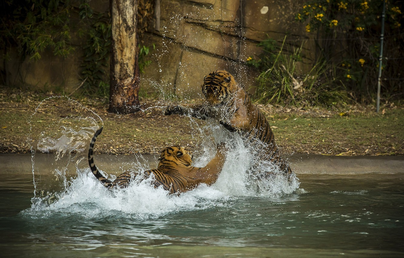 Photo wallpaper squirt, the game, predators, bathing, fight, pair, wild cats, tigers