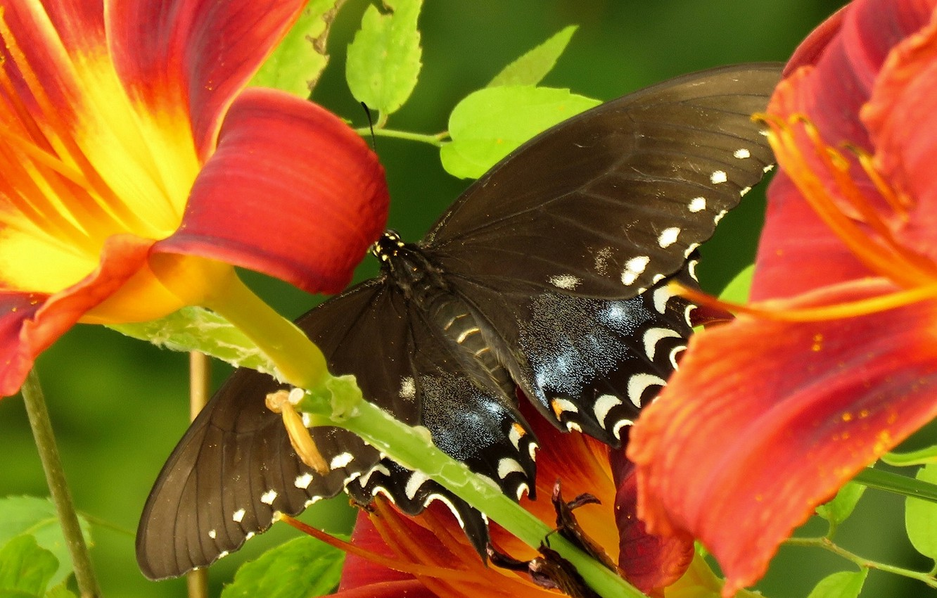 Photo wallpaper macro, flowers, butterfly, Lily, Papilio Glaucus