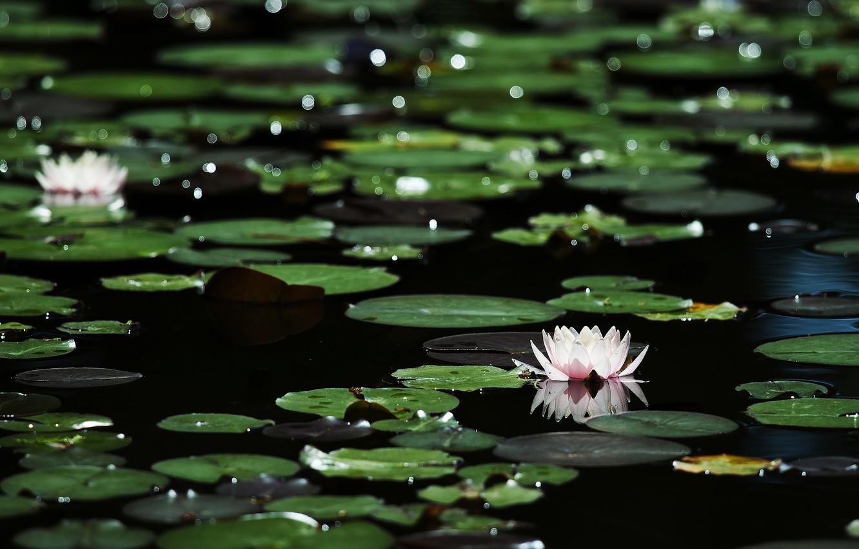 Photo wallpaper leaves, flowers, glare, dark water, bokeh, water lilies