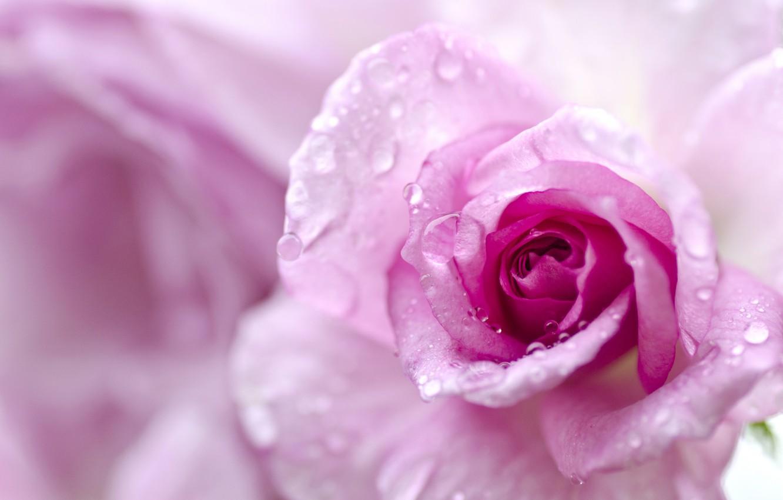 Photo wallpaper drops, macro, rose, petals, Bud, bokeh