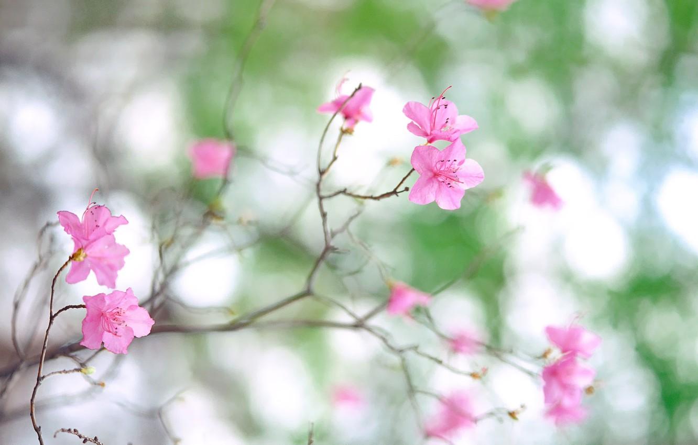 Photo wallpaper macro, flowers, nature, photo, branch, spring, petals, blur, pink, flowering