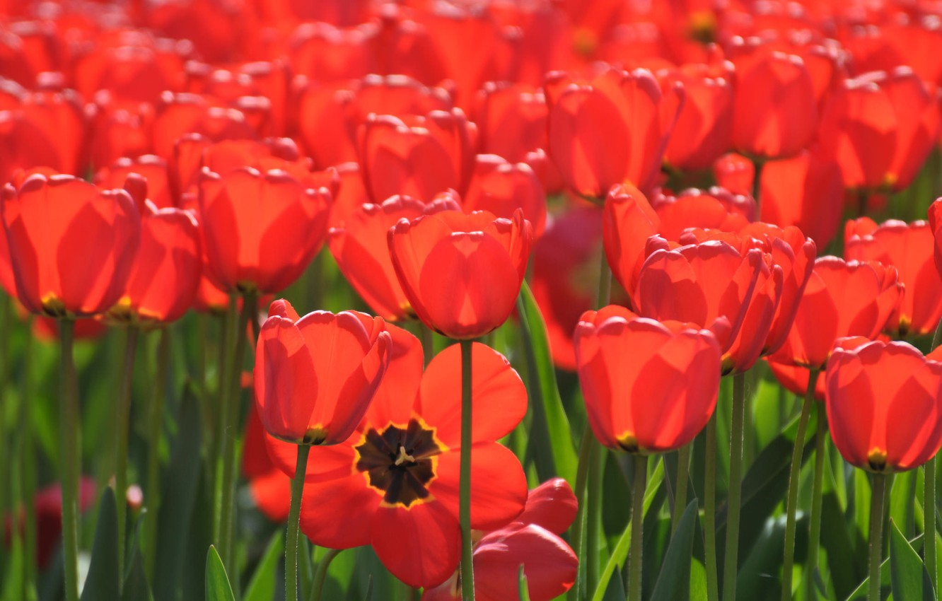 Photo wallpaper tulips, buds, a lot, red tulips