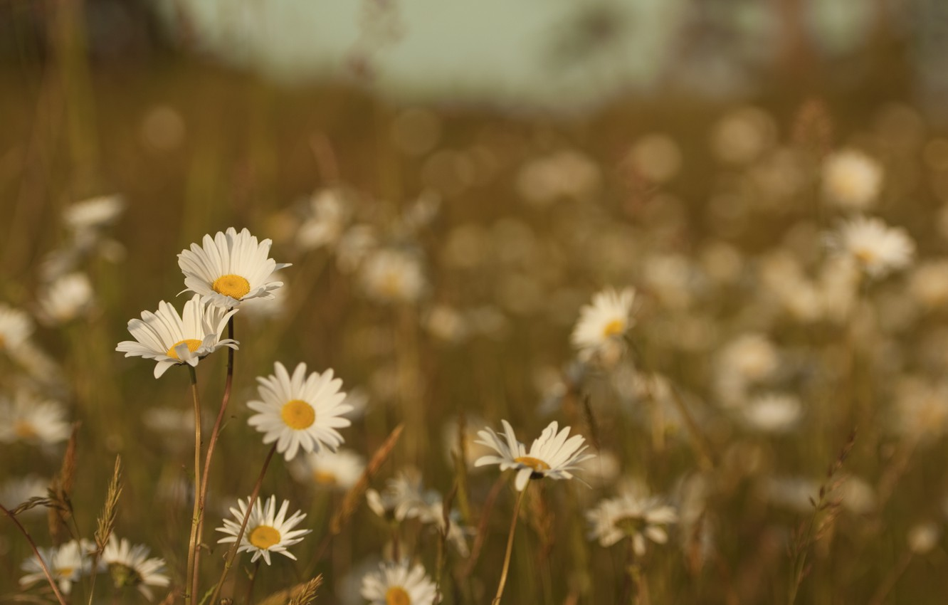 Photo wallpaper field, summer, grass, macro, flowers, nature, heat, color, chamomile, plants, meadow