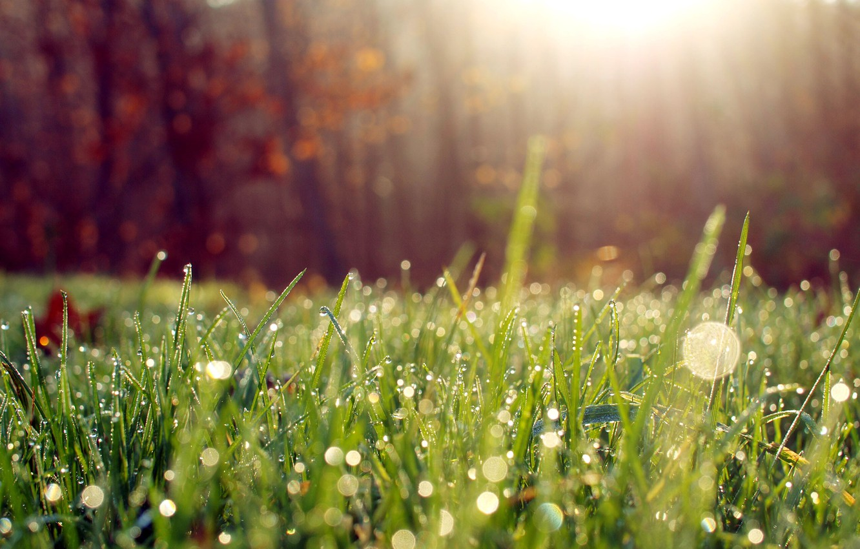 Photo wallpaper grass, the sun, macro, light, Rosa, morning