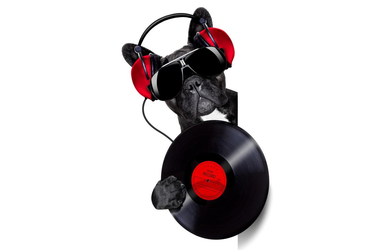 Photo wallpaper face, music, humor, headphones, glasses, white background, bulldog, vinyl, record, DJ, black, from the corner, …