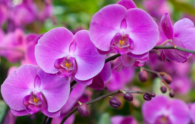 Photo wallpaper macro, pink, Orchid