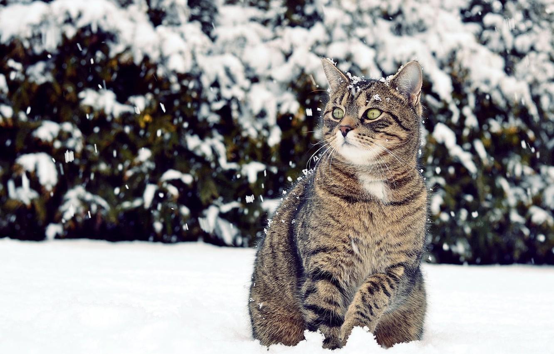 Photo wallpaper winter, cat, look, snow, looks