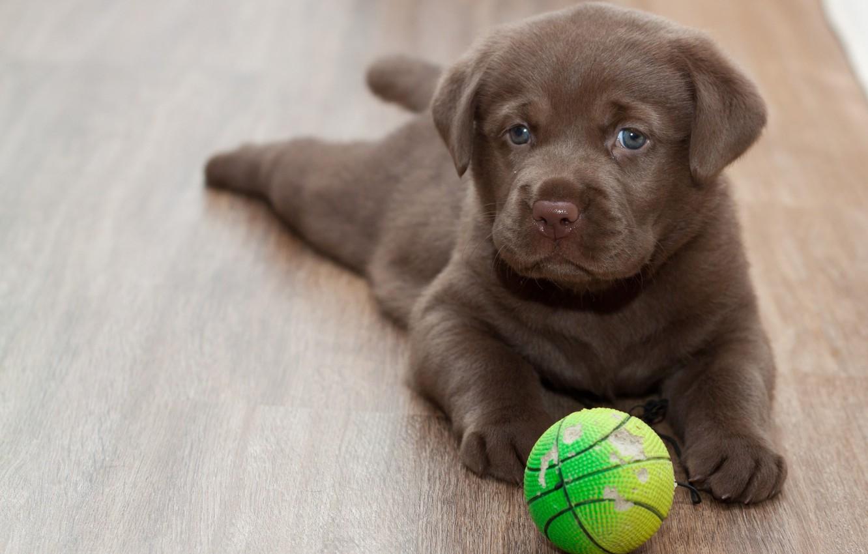 Photo wallpaper look, each, the ball, floor, puppy, Labrador