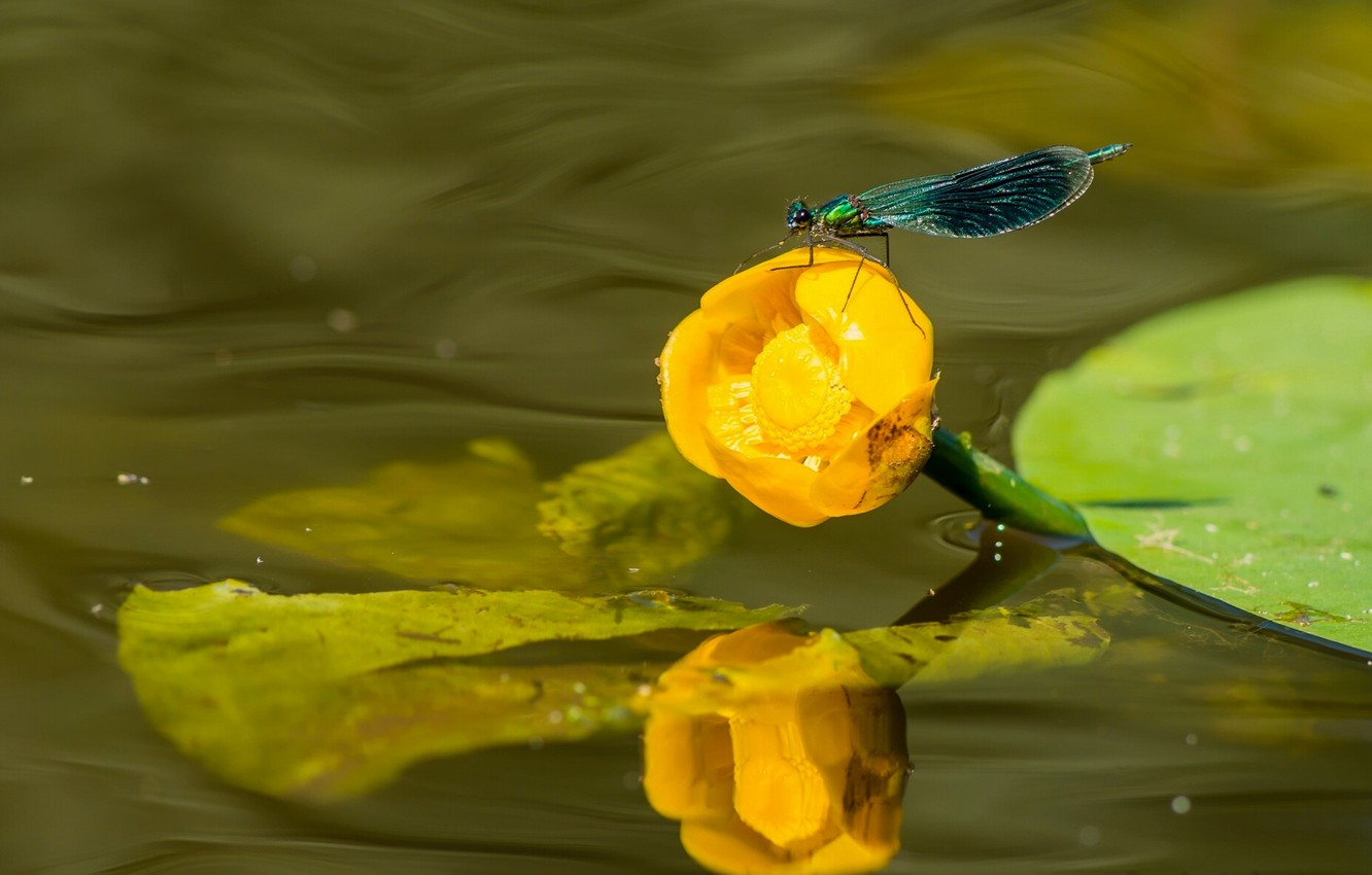 Photo wallpaper water, macro, dragonfly, Lily, brilliant beauty, water Lily yellow, Nuphar lutea