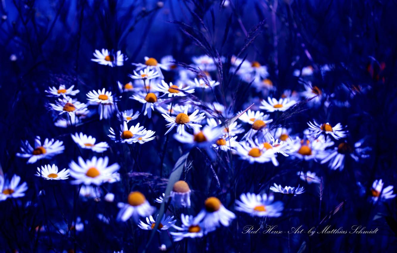 Photo wallpaper blue, color, chamomile