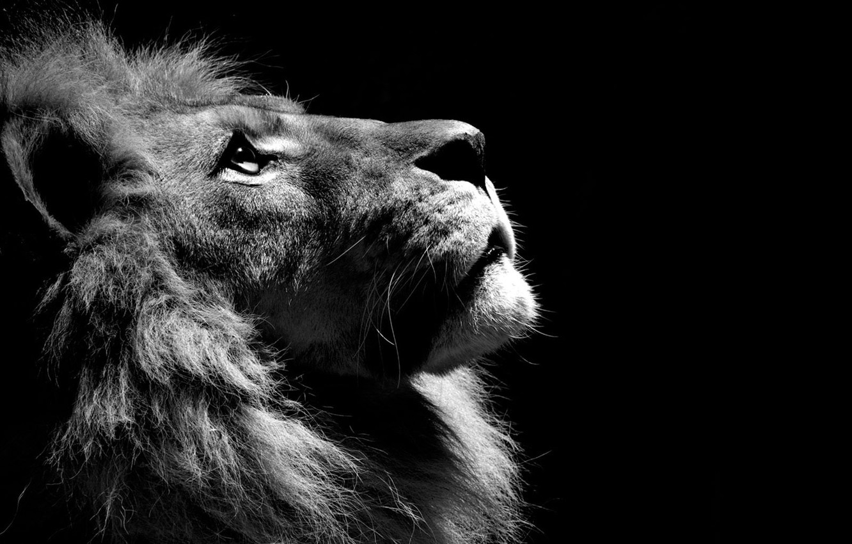 Photo wallpaper black and white, Leo, lion, animal