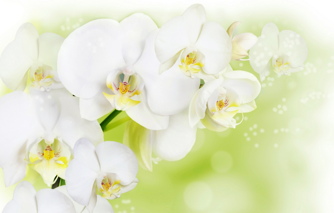 Photo wallpaper flowers, background, white Orchid