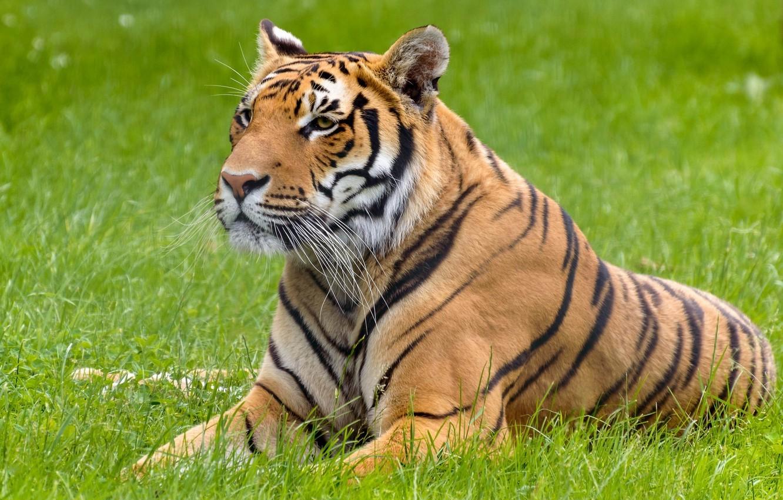 Photo wallpaper summer, face, tiger, stay, predator, lies, wild cat