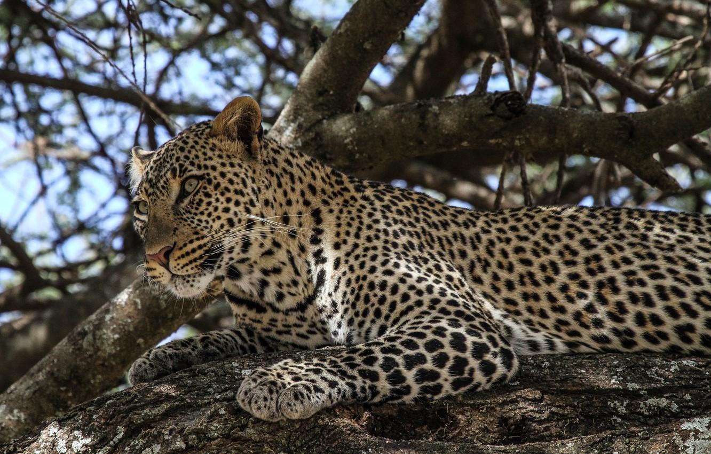 Photo wallpaper face, stay, predator, spot, leopard, wild cat