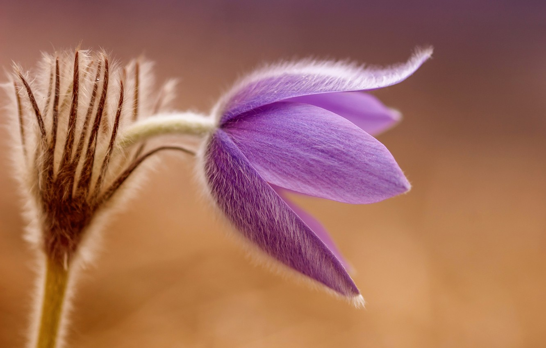 Photo wallpaper flower, macro, spring, primrose, sleep-grass, cross large, sleep great, pulsatílla grandis