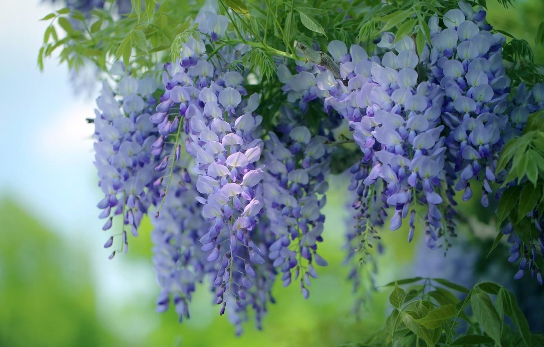 Photo wallpaper flowers, Wisteria, Wisteria