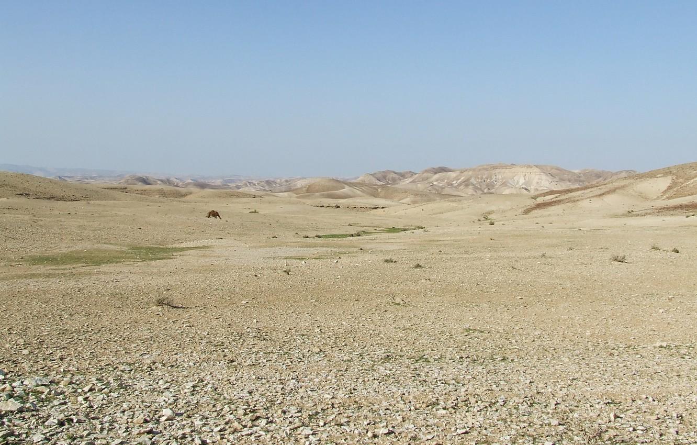 Photo wallpaper CAMEL, ISRAEL, JUDEAN DESERT