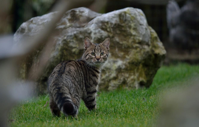 Photo wallpaper grass, cat, look, Koshak, Tomcat